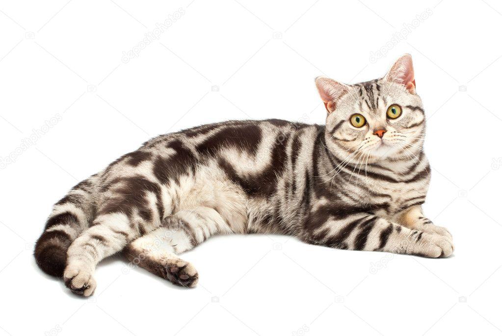 Cat Breeds Similar To American Shorthair