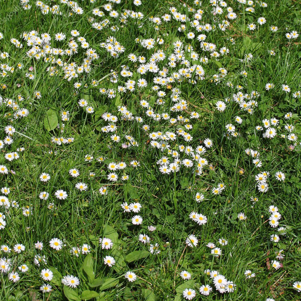 White Daisy Field Stock Photo Dexns31 5474455