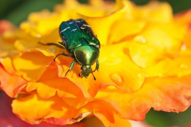 Rose chafer on yellow flowers