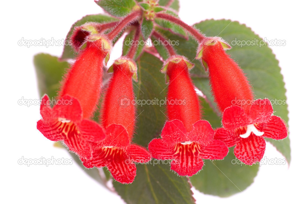 Red flowers kohleria rongo stok foto dovapi 5855762 beyaz izole krmz iekler kohleria rongo dovapi fotoraf mightylinksfo