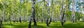 letní bříza Lesní krajina