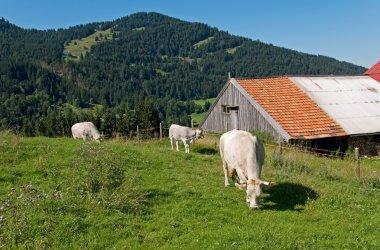 Cows meadow