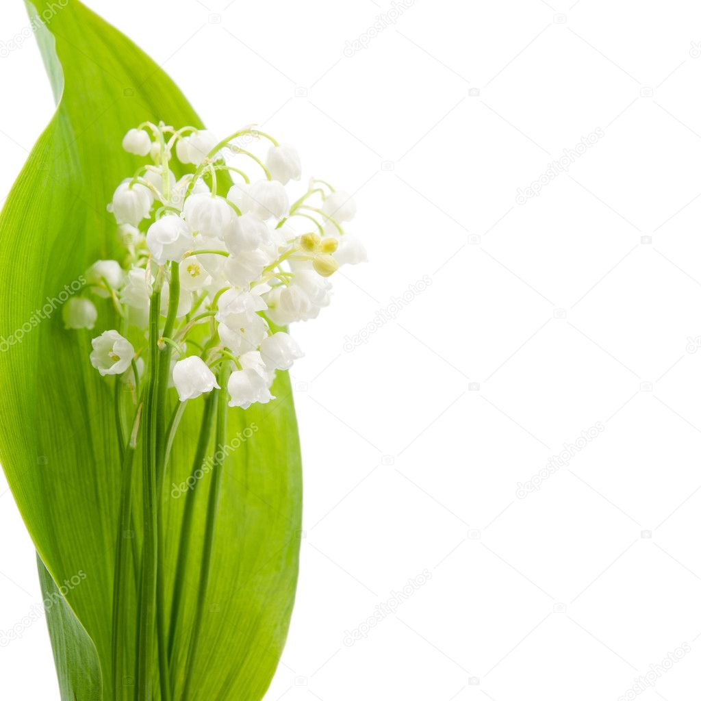 Flower of lily of the valley on a background of green leaves