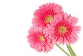 rosa Gerbera-Blüten