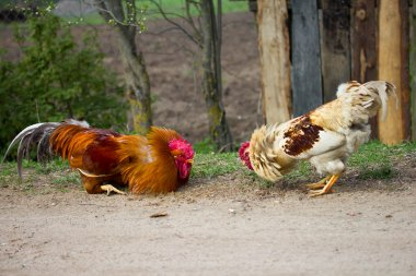 Two cocks ready for fight