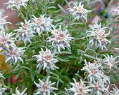 Fotografia Edelweiss (Leontopodium alpinum)