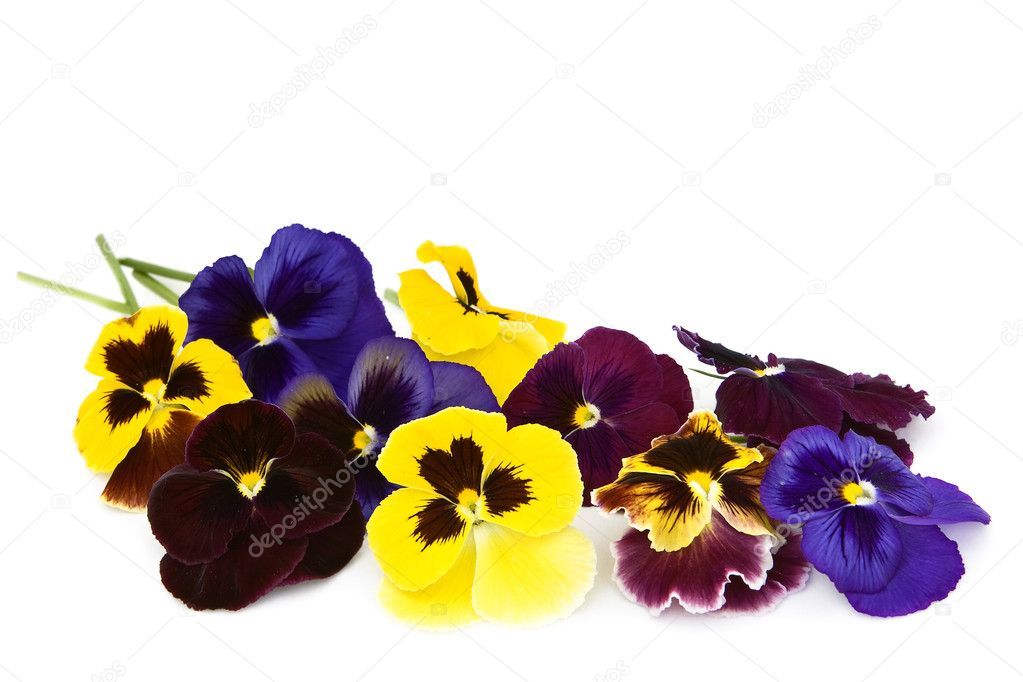 Viola flowers on a white background.