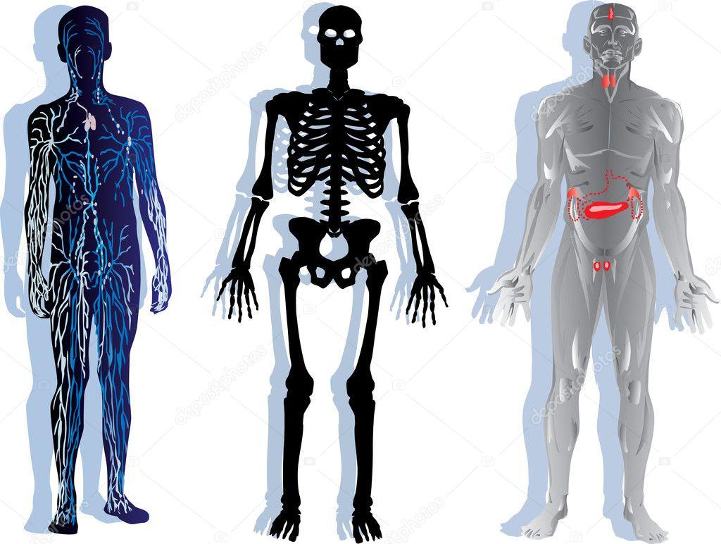esqueleto humano, sistema nervioso y muscular — Vector de stock © Dr ...