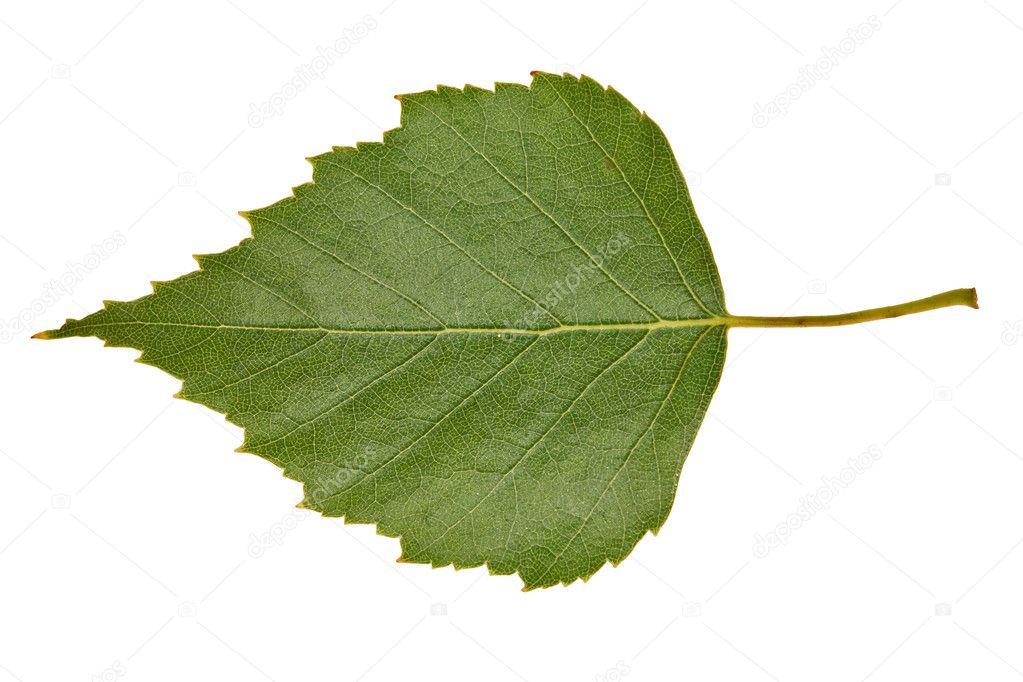 картинка березовый лист