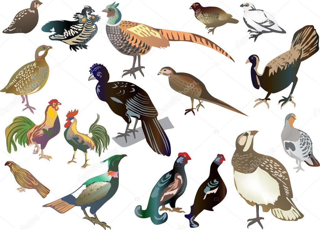 set of isolated gallinaceous birds