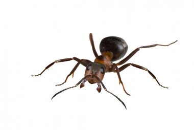 Brown big isolated ant