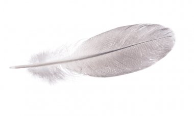 Gray straight feather on white