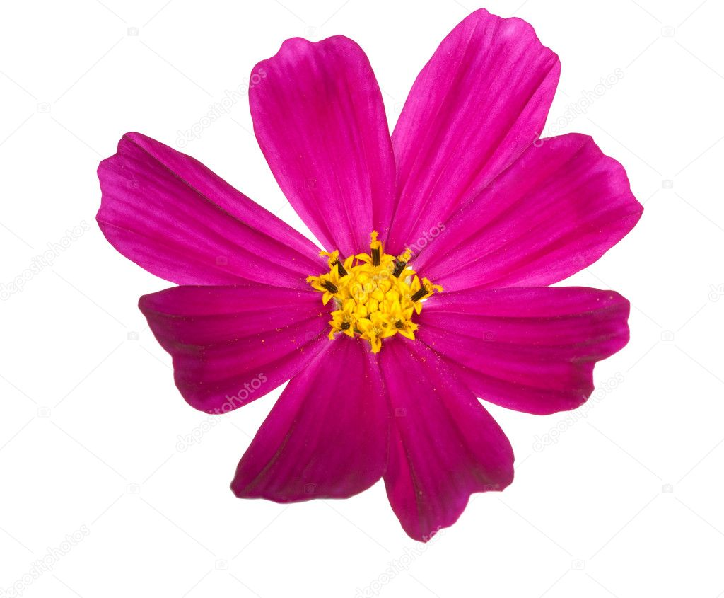 Bright Pink Flower With Yellow Center Stock Photo Drs 6651143