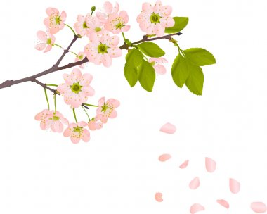 pink cherry flowers and falling petals