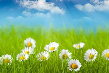 Field of daisy and blue sky on background