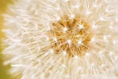 Detailed of dandelion seeds