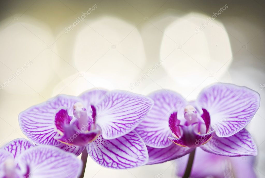 Two blossoming orchid flowers