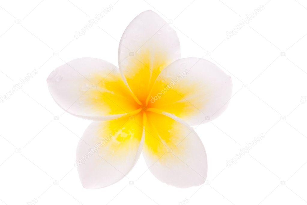 Isolated single yellow Leelawadee flower