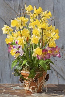 The spring arrangement of daffodils in a ceramic pot