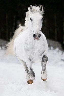 White Lipizzan horse runs gallop in winter