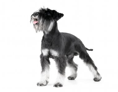 Miniature Schnauzer, 1 years old, isolated on white
