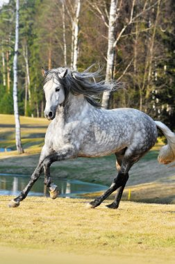 White andalusian stallion runs gallom on the meadow