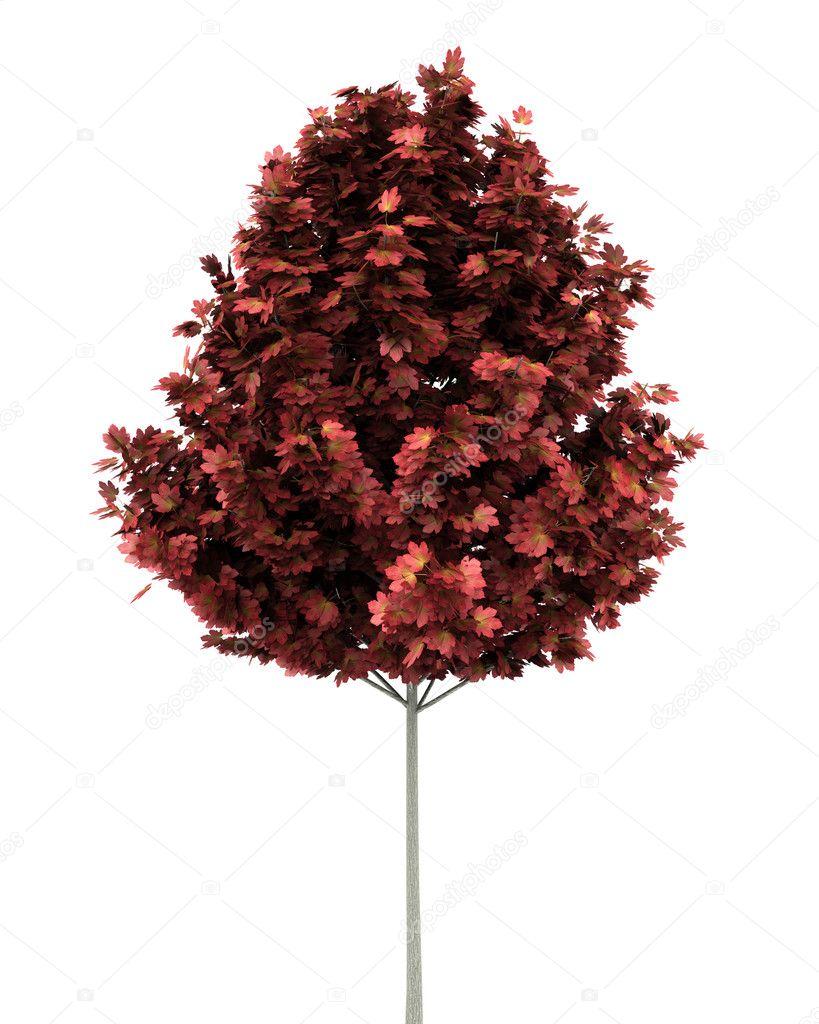 Albero di acero rosso isolato su sfondo bianco foto for Acero rosso canadese prezzo