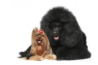 Royal poodle and yorkshire terrier
