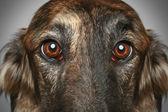 cane borzoi russo. Ritratto di Close-up testa profilo