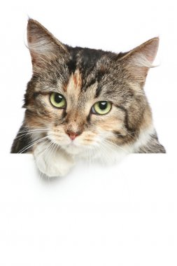 Cat above white banner