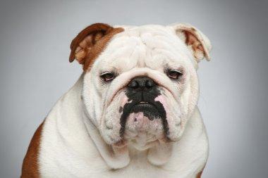 English bulldog on grey background