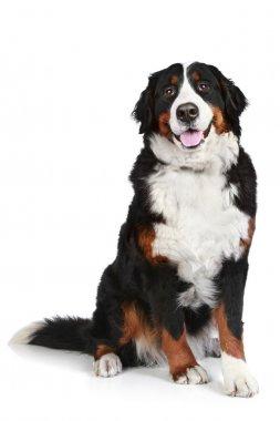 Bernese mountain dog on white background