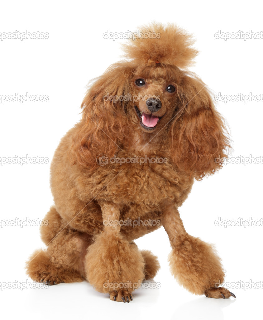 Baby Brown Toy Poodle Red Toy Poodle Puppy On White Background Stock Photo C Fotojagodka 5764025