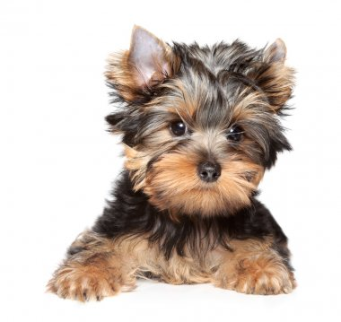 Yorkshire terrier close-up portrait