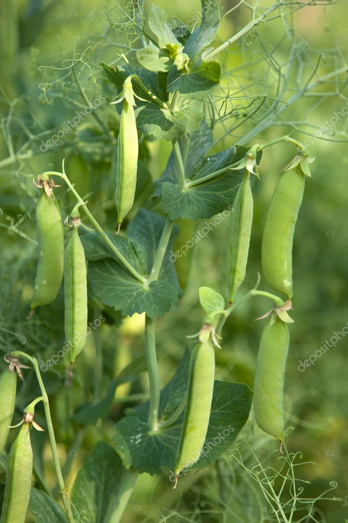 Pea Plant vegetable in a garden