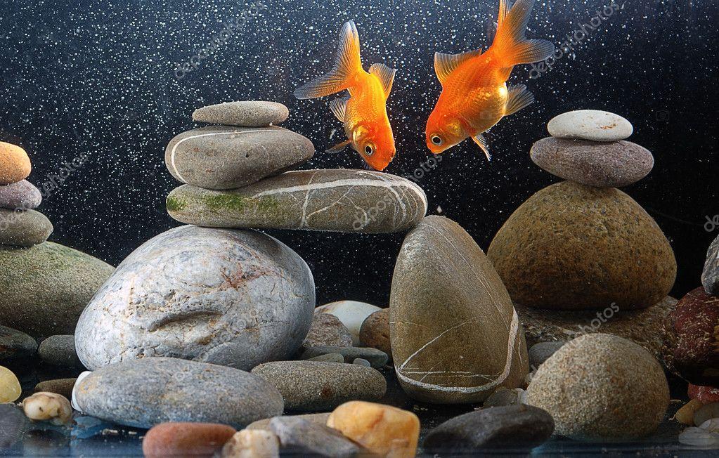 Couple goldfish