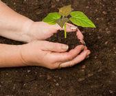Fotografie Planting a paulownia sapling