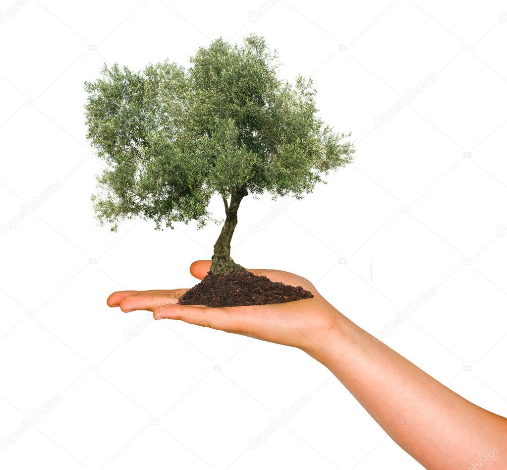 Olive tree in palm as a symbol of nature protection stock photo olive tree in palm as a symbol of nature protection stock photo buycottarizona Choice Image