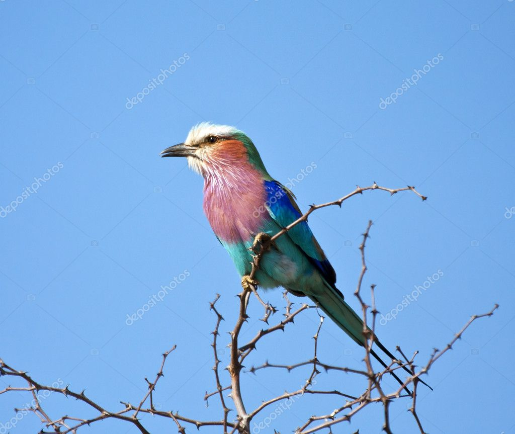 Lilac breasted roller sitting in a thorn tree