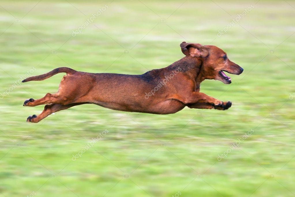 Dachshund running on green grass
