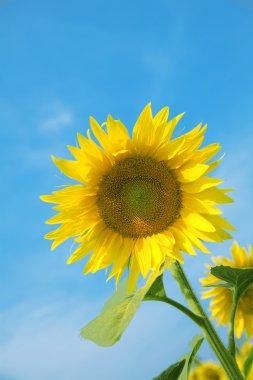 Ripe bright sunflower
