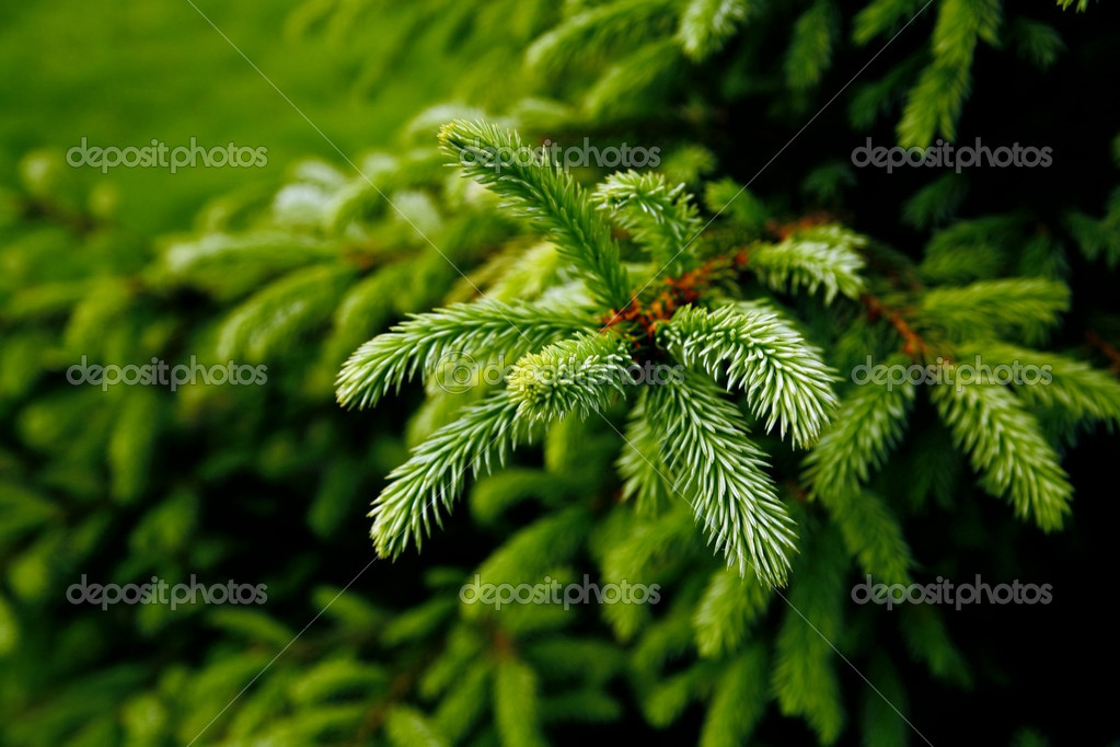 Green prickly branches
