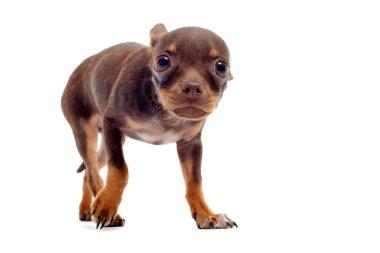 Puppy chihuahua afraid