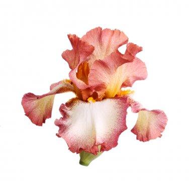 Burgundy and white iris flower isolation
