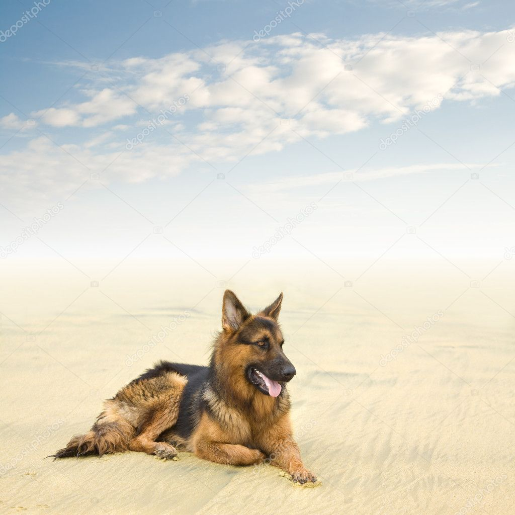 Healthy and Happy German Shepherd Dog