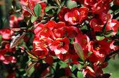 Japanese quince - Chaenomeles, Closeup