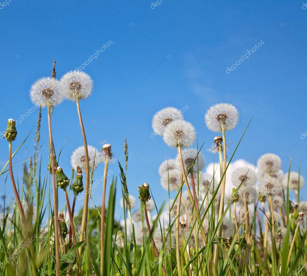 White dandelions in green grass