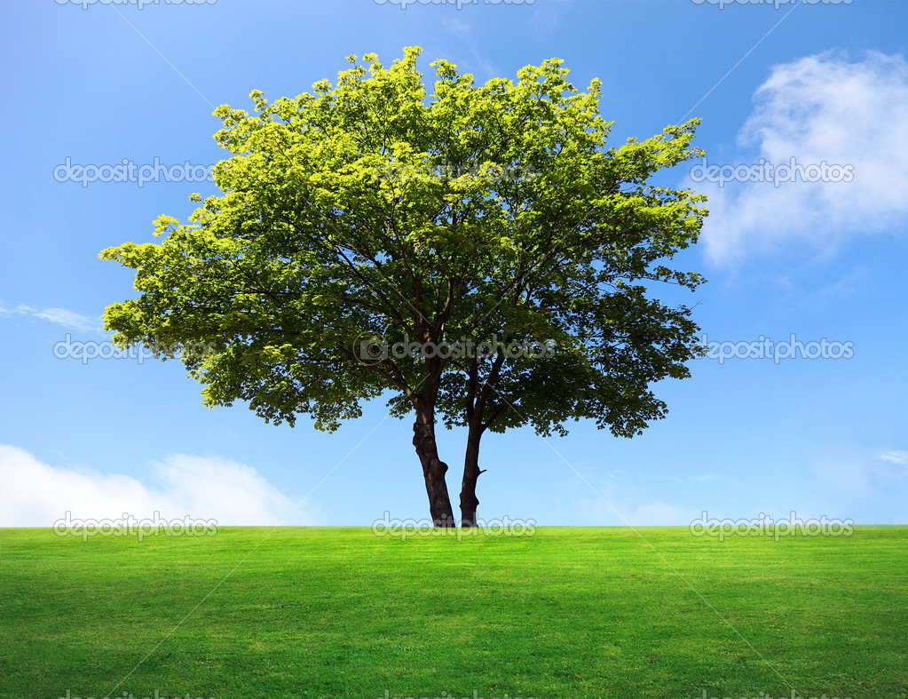 A big maple tree on green field