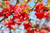 Quince Bush Blossoms