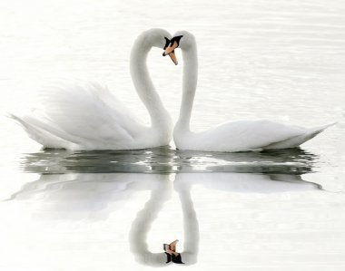 Swans on a lake
